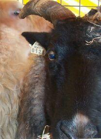 Sheep0001