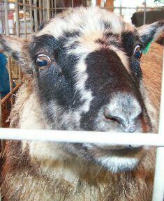 Sheep0002